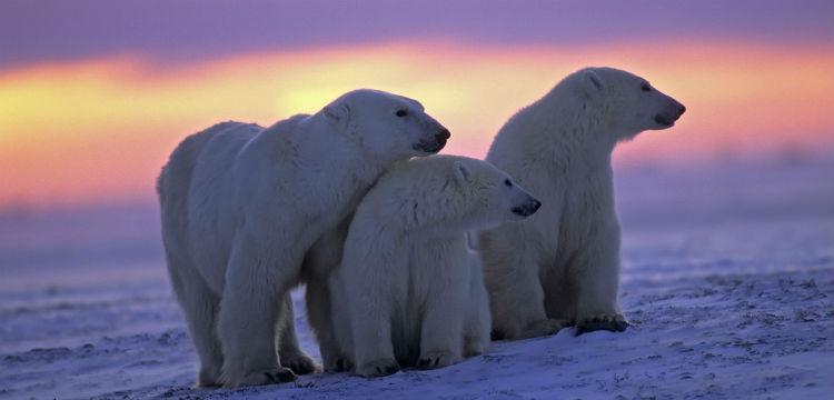 Polar Bear Spotting in Canada – Location Guide